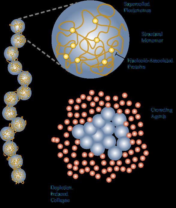 chromosomeCollapse